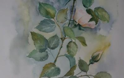 Róże z Zaniemyśla